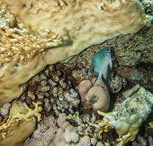 picture of damselfish  - Yellowbelly damselfish  - JPG