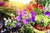 foto of petunia  - Closeup of colorful petunias in hanging flowerpot - JPG