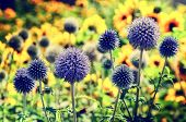 picture of spiky plants  - Summer colorful field with wild echinops - JPG