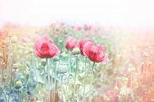 picture of poppy flower  - Red poppy flowers  - JPG