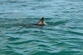stock photo of fin  - A great white shark - JPG