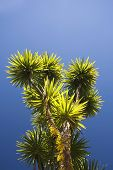 pic of australie  - The cabbage tree is one of the most distinctive trees in the New Zealand landscape - JPG
