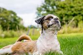 image of bichon frise dog  - Cute Bichon Frise cross Shih Tzu playing in his garden - JPG
