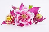 picture of purple white  - purple flowers of Aquilegia vulgaris isolated on white background - JPG