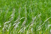 stock photo of tall grass  - Tall stalks of grass blowing in the wind - JPG
