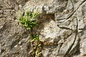 stock photo of stone house  - flower on the stone wall of a village house in the mountains of Bulgaria