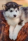 picture of husky sled dog breeds  - cute puppy of alaskan malamute dog in summer - JPG