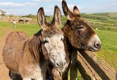 stock photo of donkey  - Two donkeys by a fence in a field with faces close together on spring day - JPG
