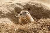 pic of prairie  - photo of a prairie dog with bedding in it - JPG