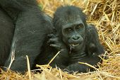picture of gorilla  - baby lowland gorilla sitting along side mum - JPG