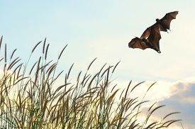 picture of bat  - Bats flying in spring season sky for background usage  - JPG
