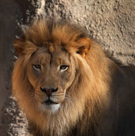 picture of lions-head  - Large male Lions head looking at camera with soft background - JPG