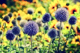 stock photo of scottish thistle  - Summer colorful field with wild echinops - JPG