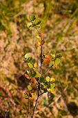 Diminutive Birch