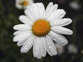 Wet Daisy