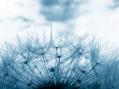 image of dandelion seed  - Blue toned image of dandelion clock in meadow - JPG