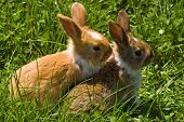 two little brown rabbit watching on green grass