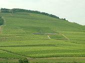 Green Vineyard In Hungary