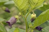 foto of belladonna  - Deadly Nightshade flowers - Atropa belladonna