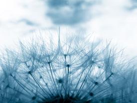 image of dandelion seed  - Blue toned image of dandelion clock in meadow - JPG