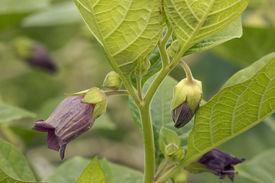 picture of belladonna  - Deadly Nightshade flowers - Atropa belladonna Poisonous plant - JPG