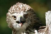 Angry Red Tail Hawk