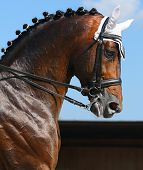 Equestrian sport - dressage / head of bay horse