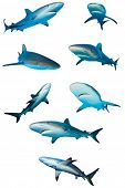Sharks isolated. Caribbean Reef Sharks on white background poster