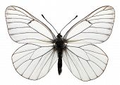 Isolated Black-veined White