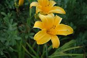 Ei Summer Yellow Lillies