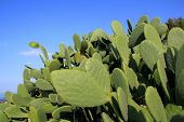 stock photo of nopal  - chumbera nopal mediterranean cactus plant under blue sky - JPG