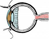 Eye Section