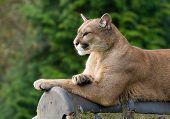 Posing Cougar