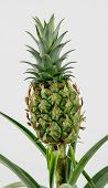 Ornamental Pineapple Plant poster