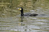 Great cormorant swimming water