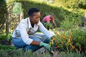 African american woman picking vegetables from garden. Mature woman working in vegetable garden. Bla poster