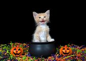 Adorable Blue Eyed Orange Buff Kitten Meowing, Sitting In A Cauldron With Happy Jack O Lanterns, Ora poster