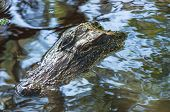 Closeup Of Alligator Or Alligator Mississippiensis Eyes And Snout Just Above Water poster