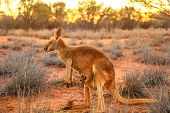 Side View Of Red Kangaroo With A Joey In A Pocket, Macropus Rufus, On The Red Sand Of Outback Centra poster