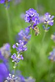 Honey Bee Landing On A Blooming A Purple Lavender Blossom Collecting Honey Against A Pur Green Backg poster