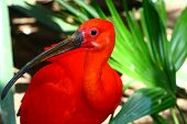 stock photo of scarlet ibis  - scarlet ibis Eudociums rubber from South America red plumage - JPG
