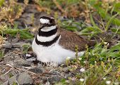 foto of killdeer  - Close up shot of Killdeer bird at nesting time sitting with chicks and eggs on nest - JPG