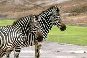 group of zebra in chiang mai night safari
