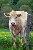 stock photo of charolais  - Cow stands behind barbed wire fence looking out - JPG