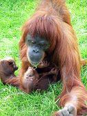 ein Baby-Orang mit seiner Mutter