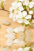 Spa theme with blooming cherry tree branch and smooth stones in reflecting water, focus on flower