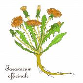 Hand Drawn Colored Bush Of Blossoming Dandelion Isolated On White Background. Herbal With Latin Name poster