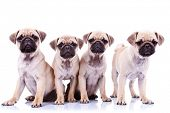 four mops puppy dogs sitting in front of a white background and looking to the camera