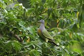 Thick-billed Green Pigeon  Perched On A Tree In A Nature, Treron Curvirostra poster