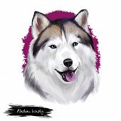 Alaskan Husky Breed Digital Art Illustration Isolated On White Background. Cute Domestic Purebred An poster